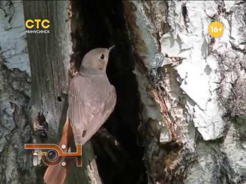 Красногрудые певцы прилетели из Африки