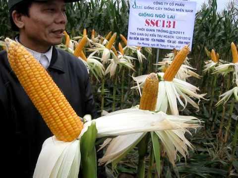 Kỹ thuật trồng cây ngô lai đơn: Ngô lai đơn SSC 131 tại Yên Phương - Yên Lạc - Vĩnh Phúc