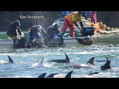 The Dolphin Hunt:  Ambassador Caroline Kennedy's Concern