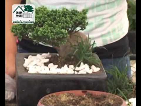 Cuidado del rbol bonsai youtube - Cuidado del bonsai ...
