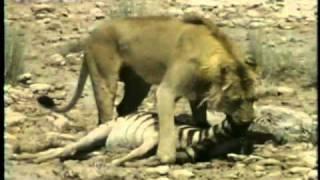 Predadores Selvagens Leão Solitário Ataca Zebra.avi