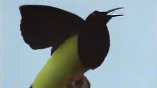 Attenborough: 12 Wired Birds of Paradise