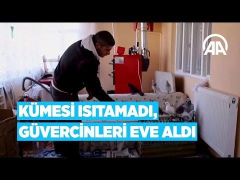 Anadolu Ajansı - Kümesi ısıtamadı, güvercinleri eve aldı