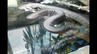 Giant Anaconda, Rat-snake And Mangrove Snakes