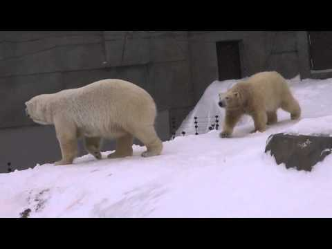 Lara and her twin cubs in blizzard, at Sapporo Maruyama Zoo, Japan