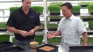 How To Grow Wheatgrass And Other Green Sprouts Indoors