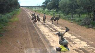 [If You Ever Need To Catch An Emu, This Guy Will Teach You How] Video