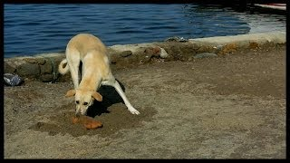 A Dog tries to hide it's loaf of bread in Gumusluk