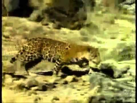Những trận chiến của động vật hoang dã. 1.FLV