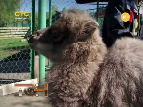 Одним верблюдом больше