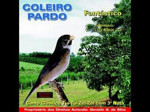Canto Tui Tui mais bonito de Coleiro (COM CHAMADO DE FÊMEA)
