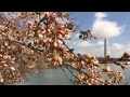 How cherry blossoms became a Washington, DC tradition