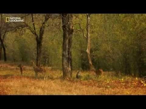 Tajomstvá indické divočiny - Tigria džungla