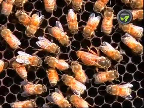 Types of Honeybees - Dammar Bee, Little Bee, Rock Bee, Mellifera and Indian Honeybee