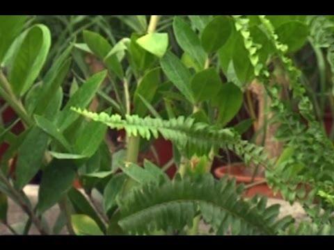 Hobi bahçeciliği iç mekan bitkileri zambia çiçeği 2