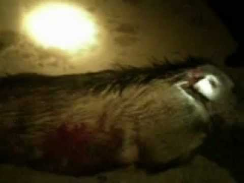 wild boar hunting live video sikandar sultan shehbaz alam and raoe inam 2