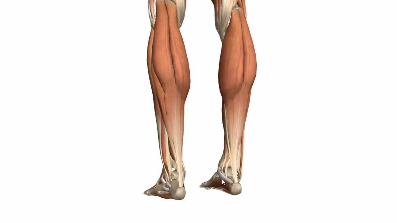 Muscles Of The Leg - Part 1