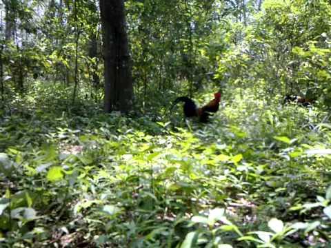 Pikat ayam hutan..Dunhill..#1..