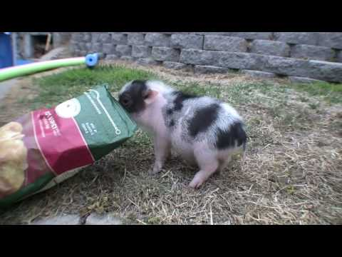 Meet Carnitas, the CUTEST miniature pig EVER!