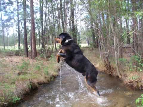Displaying (19) Gallery Images For Biggest Rottweiler In The World...