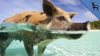 Pigs Can Swim and Surf!