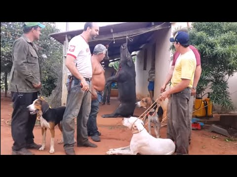 Javali Gigante - Caçada Dogo Argentino e Americano