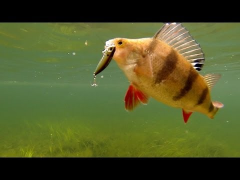 Fishing Catching Perch With DUO Lures Underwater Camera