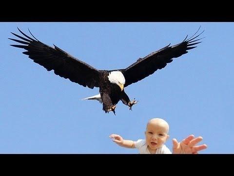 Image video حقيقة النسر الذي حاول اختطاف الطفل