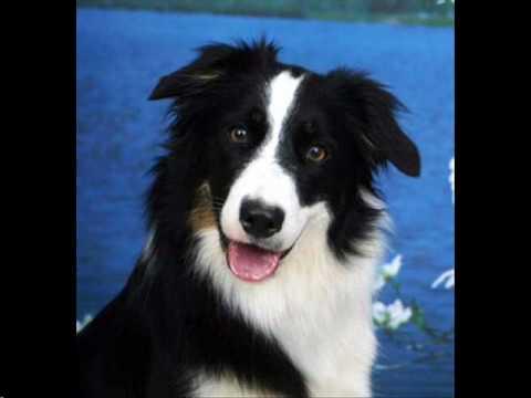 Top  Smartest Dog Breeds Official Kennel Clubs List