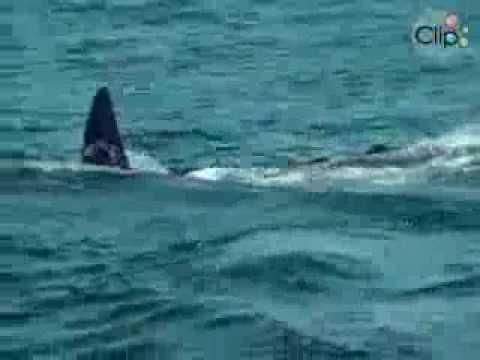 Xem video clip Cá voi sát thủ ăn thịt cá mập trắng khổng lồ   Video hấp dẫn   Clip hot   Baamboo com