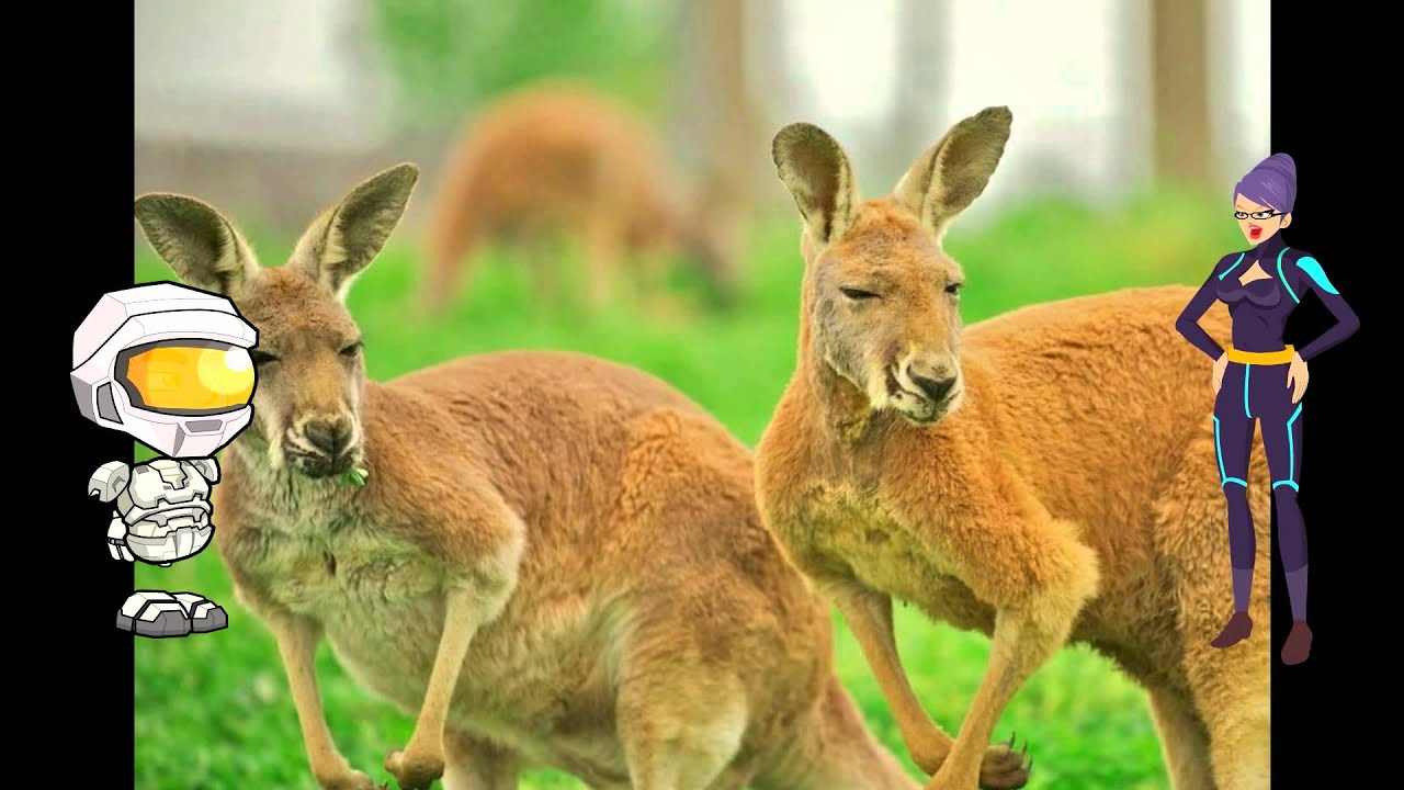 All About Kangaroos: A kids Picture Book About Kangaroos