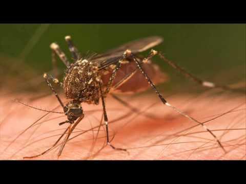 Chikungunya virus coming to the US