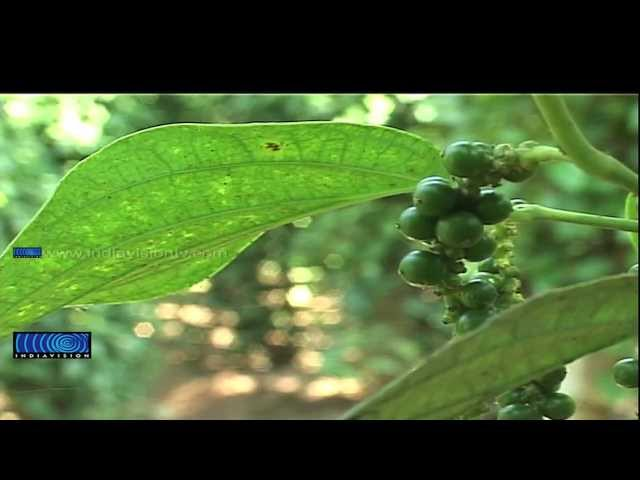 Fall of production due to plant disease hits pepper farmers