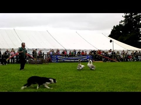 Bob Hogg Sheepdogs and Geese Royal County of Berkshire Show 2013