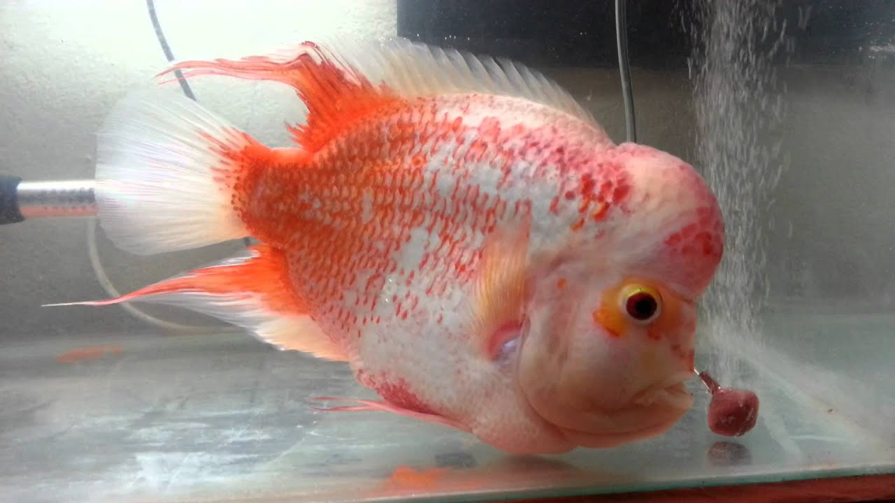 404 not found for Flowerhorn fish for sale