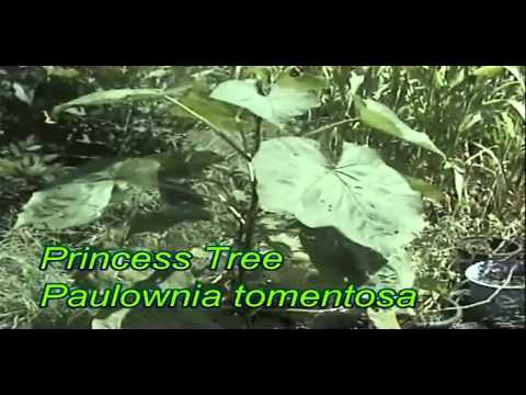 How to grow The Princess Tree Paulownia tomentosa from seed