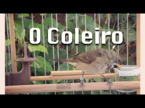 Encarte Coleiro Canto Tui Tui 3 ª Nota - Canto Clássico - Terceira Nota