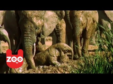 Baby Elephant Rescued By Mom!