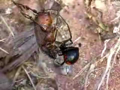 black widow spider catches June bug