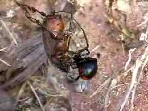 black widow spider catches June bug