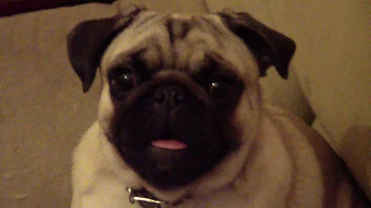 Pug Ladrando Pug Barking Youtube