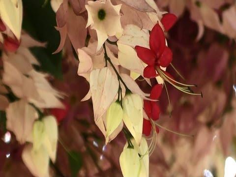 Lágrimas de Cristo, Plantas ornamentais, Clerodendrum thomsonae,