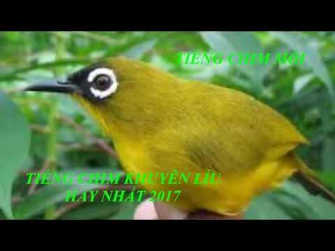 Tiếng chim mồi - Tiếng chim khuyên líu hay nhât 2017 \