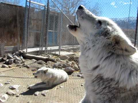 Wolves howling - Wolf Mountain Sanctuary