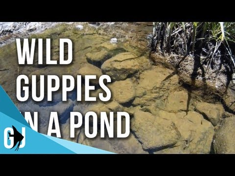 #161: Wild Guppies in Shallow Pond - Maui, HI