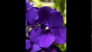 Storczyki, Orchidea Orchideceae, Galeria Uprawa I
