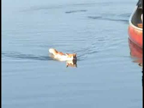 turkish van cats swimming