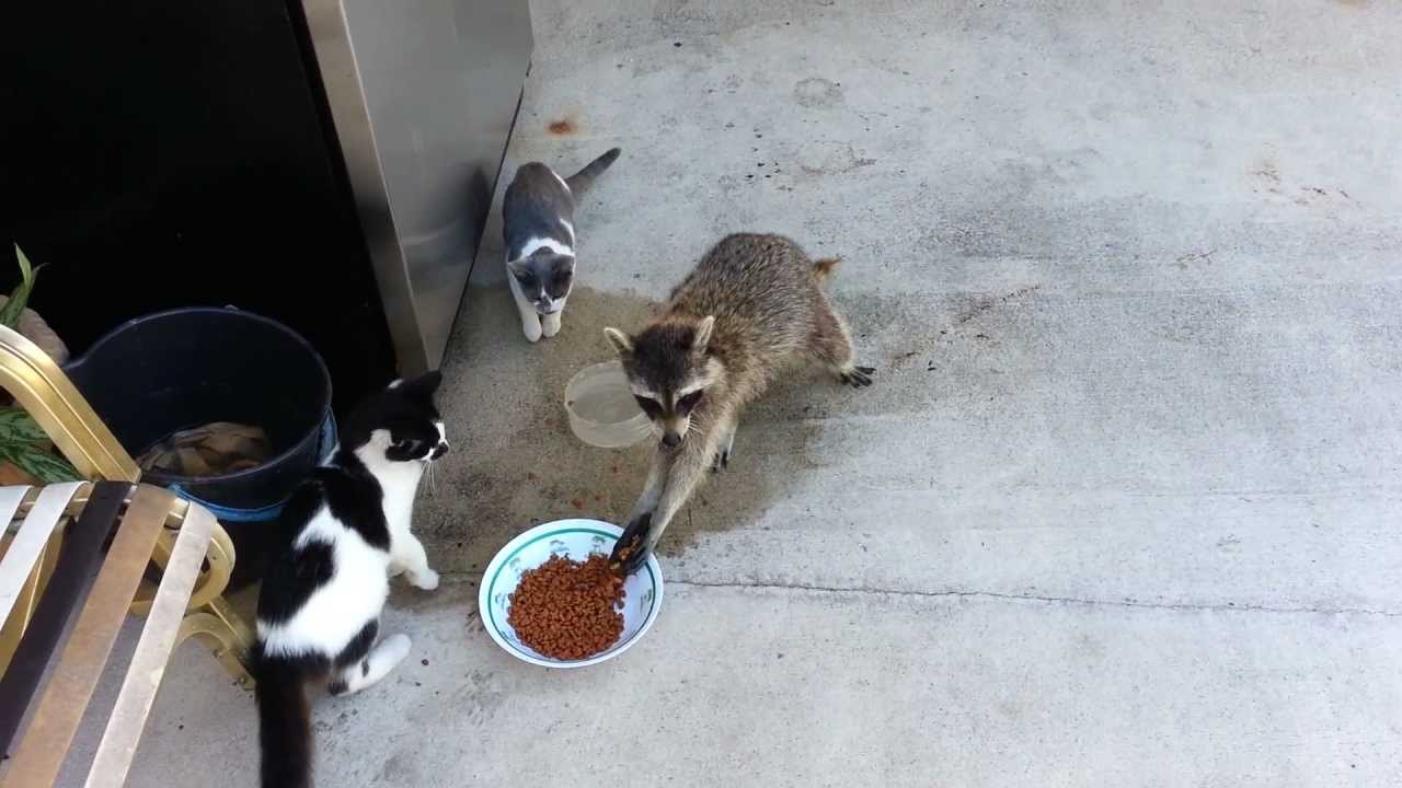 Raccoon With Cats Food Wet The Food