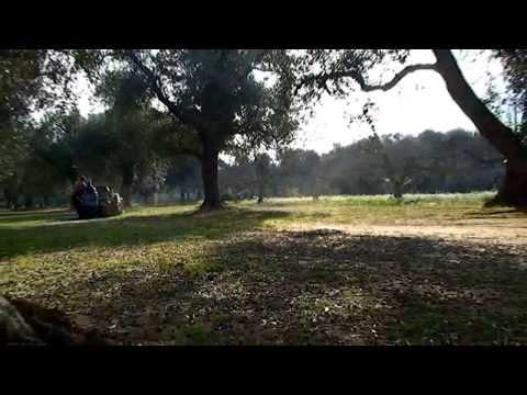 raccoglitrice macchina raccolta olive hdr 140 Agrimaglie.avi