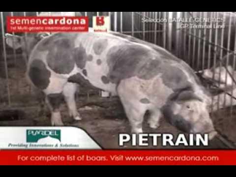 BATALLE Pietrain Boars
